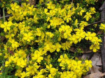 Hibberia Species